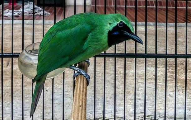 merupakan salah satu jenis burung yang cukup banyak penggemarnya Mp3 Suara Burung Cucak Ijo Gacor