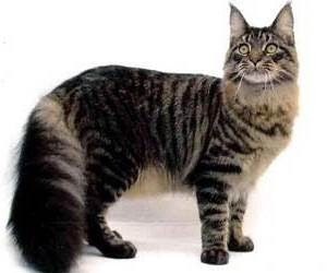 kcuing maine coon