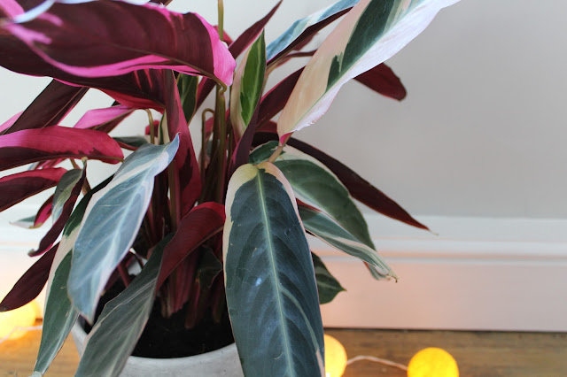 Calathea Mix Indoor Plant