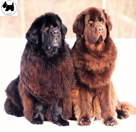 Newfoundland dog,dog information, Dog facts,Best dog Breeds
