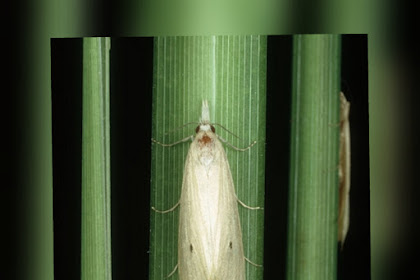 Insektisida Pembasmi Kupu Kupu Sawah TERGANAS, 5 Menit Langsung TEWAS.