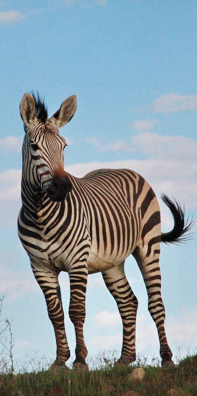 Picture of a zebra stallion.