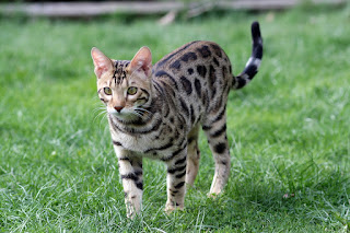 THE BENGAL CAT BREED