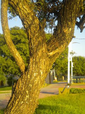 Prosopis affinis tronco