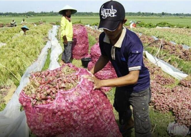 Petani Cirebon Tagih Janji Pemerintah Beli Bawang Mereka