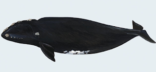 North Pacific Right Whale, Eubalaena japonica
