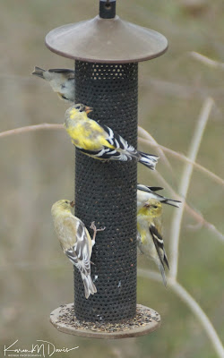 5 american goldfinches on nyjer feeder