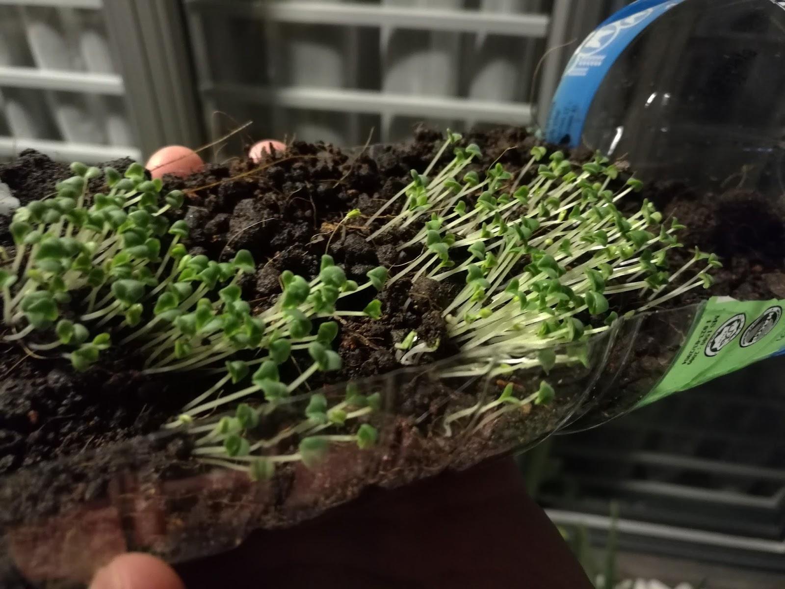 tunas Chia Seed