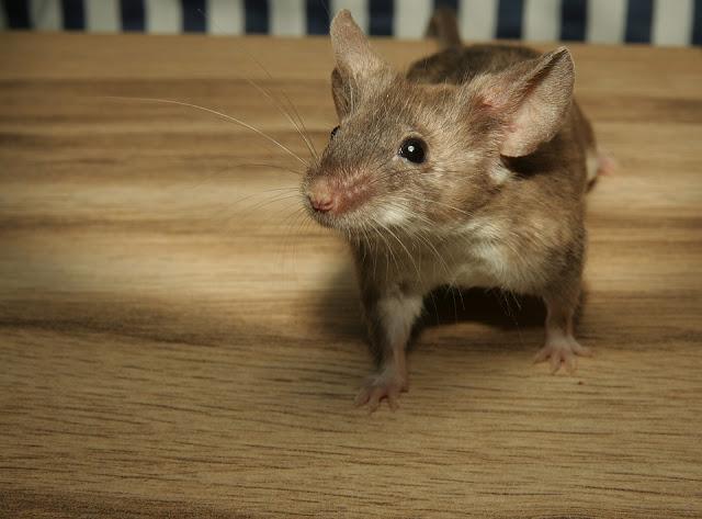 5 Cara Bikin Tikus Malas Mampir ke Rumah Anda