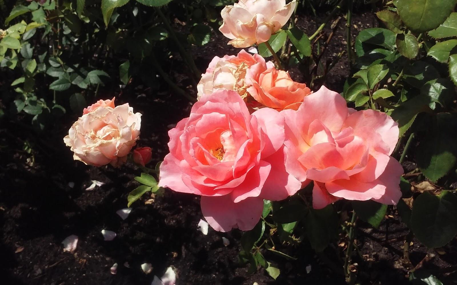 Poetic Popcorn Poetry A Rose Walk # Sunshower Rose_173655