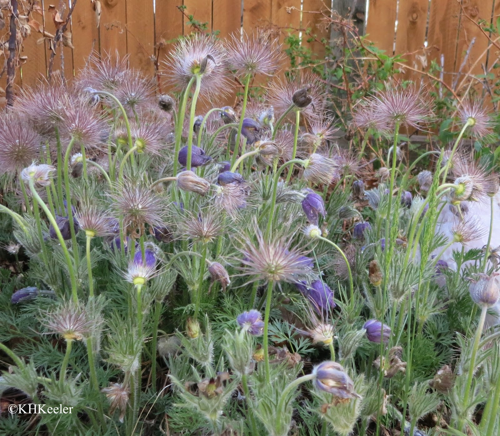 pasqueflower, Anemone patens, flowers and seed heads