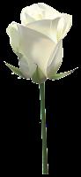Resultado de imagen de rosa blanca fondo transparente