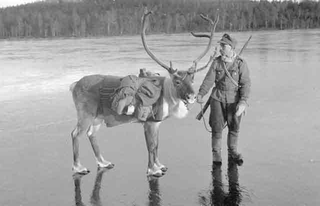 Finnish pack reindeer 26 October 1941 worldwartwo.filminspector.com