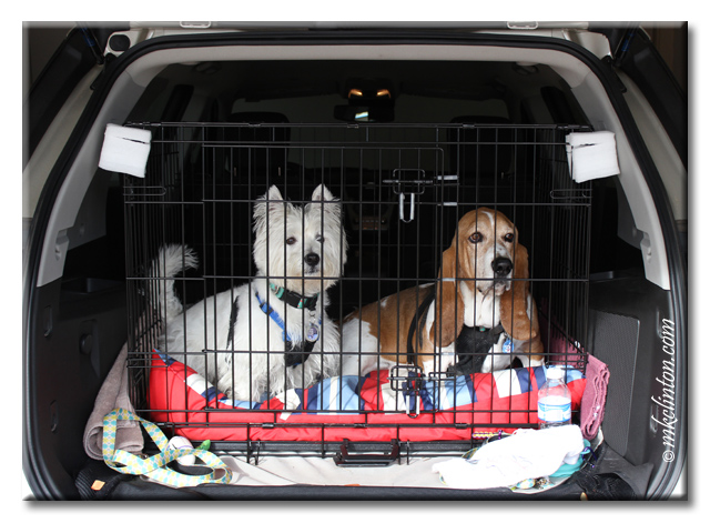 Pierre Westie and Bentley Basset Hound riding in their kennel inside our SUV