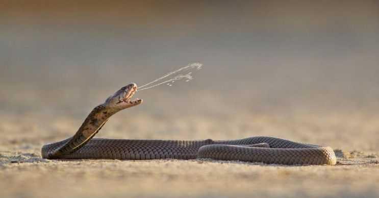 Tüküren Kobra kendini korumak zorunda kaldığında zehrini tükürerek fırlatır.