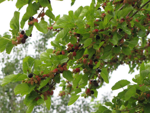 mulberry tree with ripening fruit