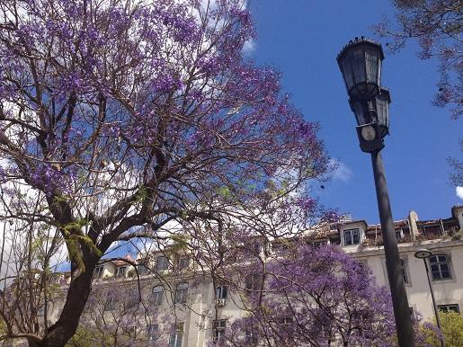 Jacarandas no Rossio - Lisboa