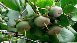urava fruit images wallpaper
