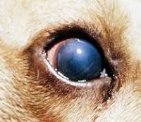 penyakit hepatitis pada anjing