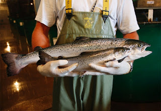 genetically engineered salmon, salmon