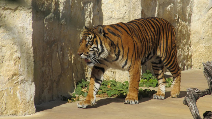 Wallpaper: Sumatran tiger at San Antonio zoo