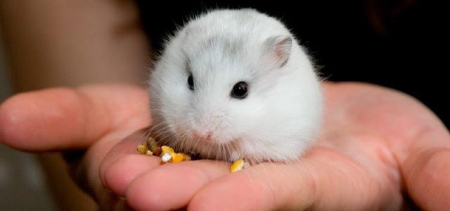 cuanto cuesta un hamster ruso