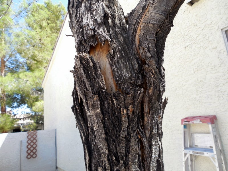 This Is A Fairly Common Problem With Ash Trees In Our Desert Southwest I Have Been Dealing Mostly On Modesto