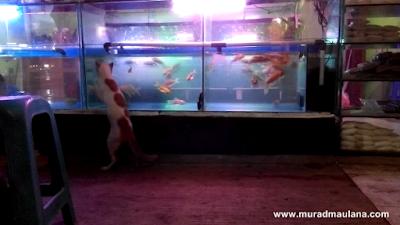 Kucing Lucu Menunggu Ikan di Depan Aquarium
