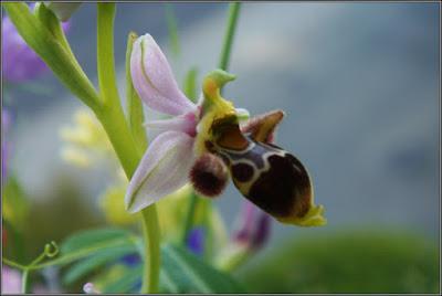 Orquídea silvestre (Villalba De La Sierra)