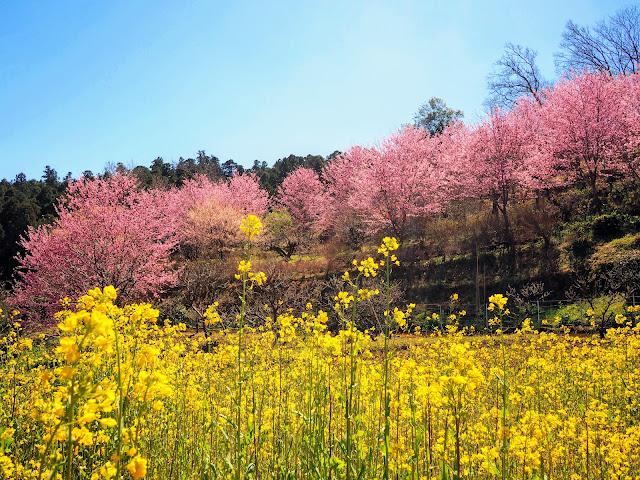 花咲く里山 大雄紅桜 菜の花