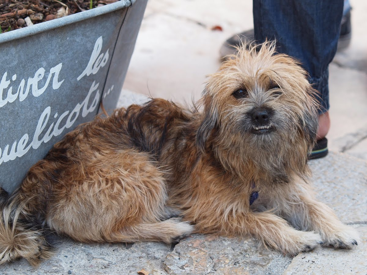 yorkshire terrier and shih tzu mix riviera dogs nourse 9303
