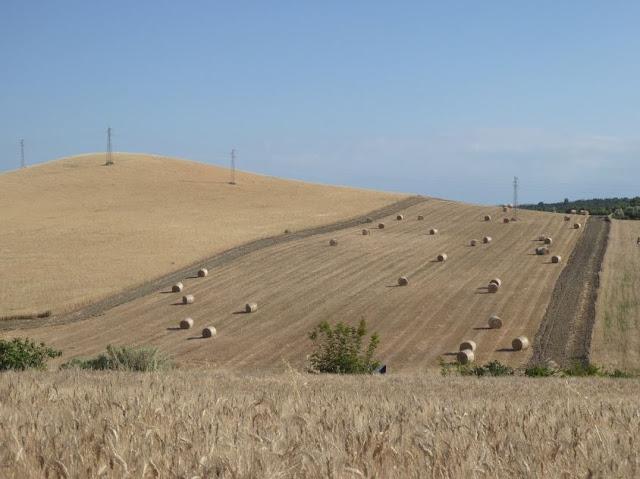 campi di grano lungo la SP 3 Matera Montescaglioso