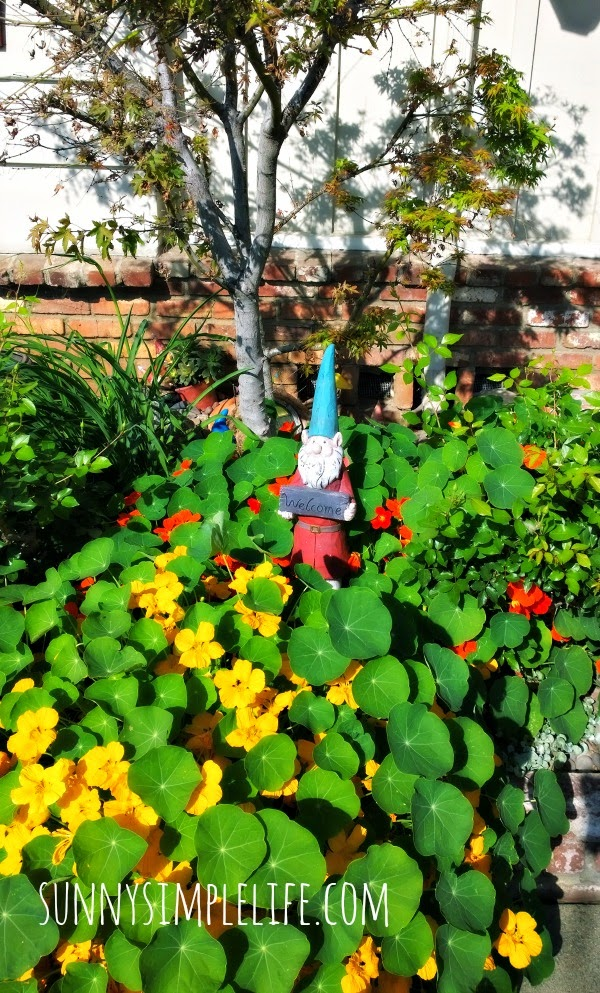 garden gnome in the nasturtiums