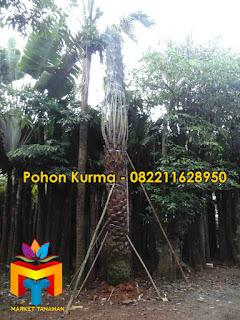 ALT=Jual-Pohon-Kurma-Tinggi-Batang-4-Meter