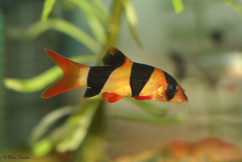 Gambar Ikan Botia