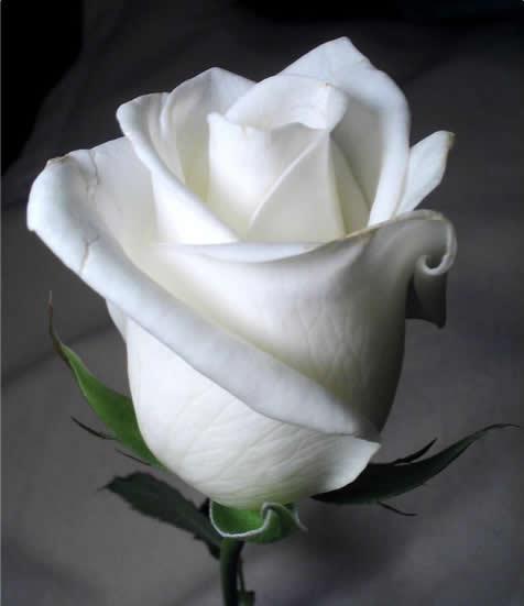 Resultado de imagem para rosas brancas