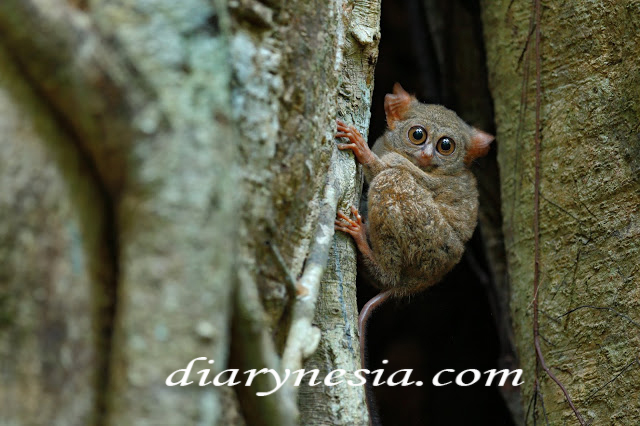 tarsier monkey native animals from Sulawesi, tarsier native animal from southeast asia, native animal from indonesia, diarynesia