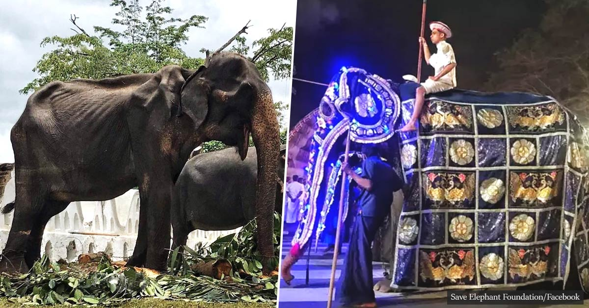 Emaciated Elephant That Forced To March Through The Streets Has Now Passed Away