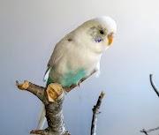 Dorita (periquito hembra)