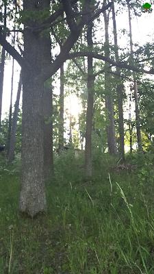 świetlisty las