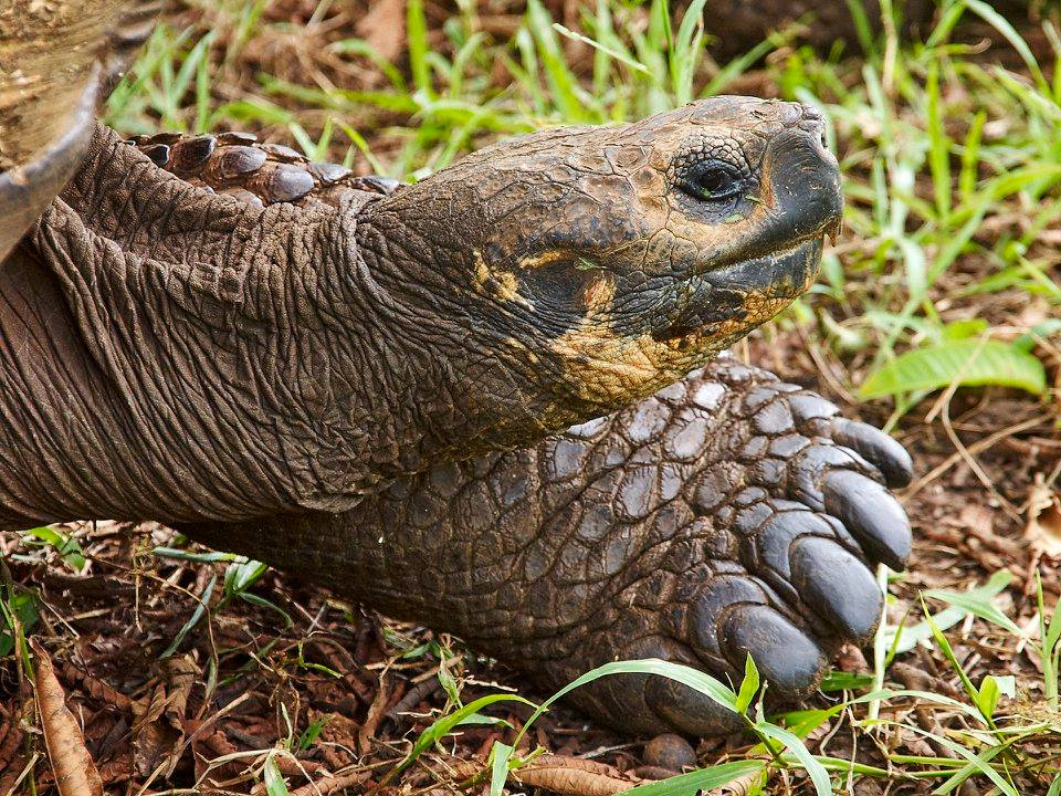 Kura-kura raksasa galapagos