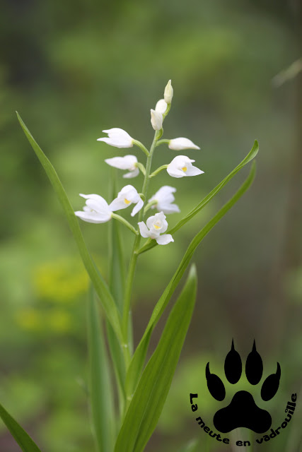 cephalanthera-longifolia-beca-slovenie