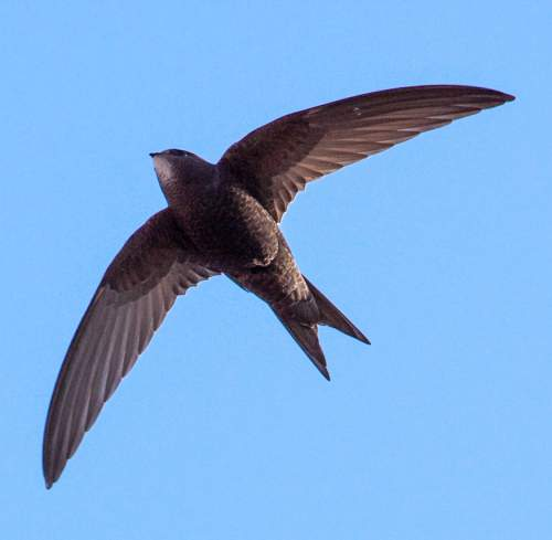 Birds of India - Photo of Common swift - Apus apus