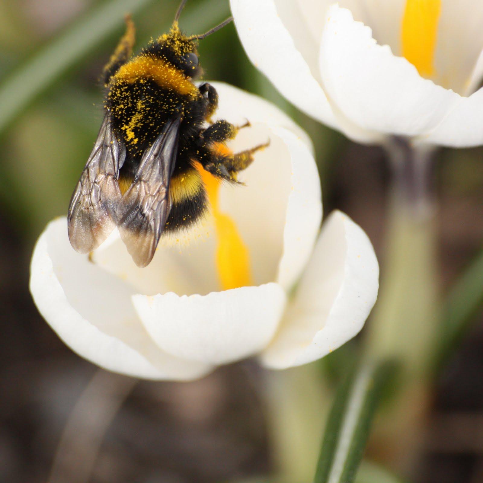 Kevätpörriäinen