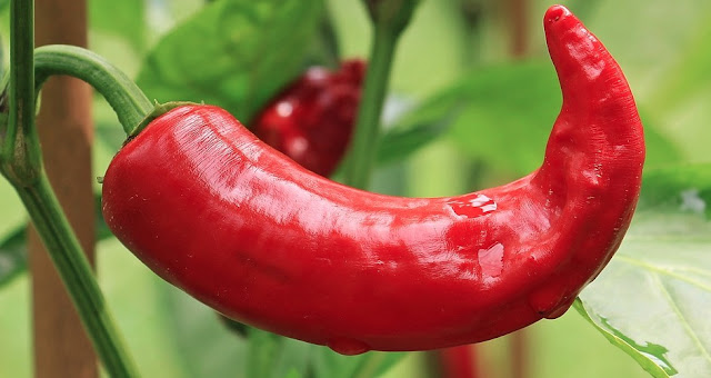 How To Grow Chillies From Seed During Summer