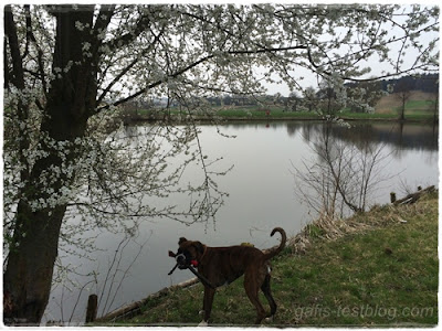 Boxer Amy am Fischweiher