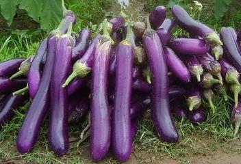 cara budidaya terong ungu
