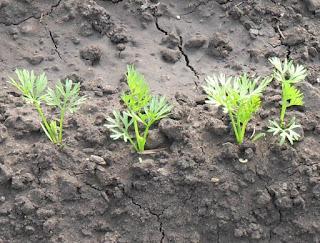 10 июня, морковка подрастает