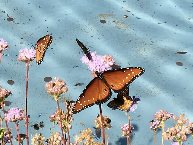 Spring comes twice a year in Central Texas! These queen butterflies are enjoying the greg's mist flowers blooming in October.