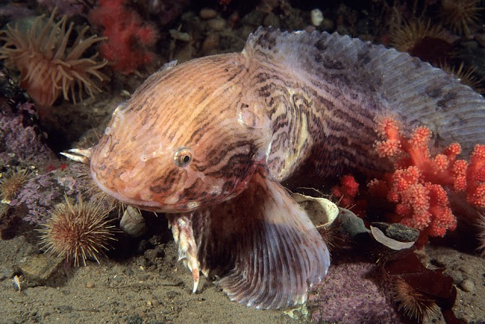 Странное строение липаровых рыб